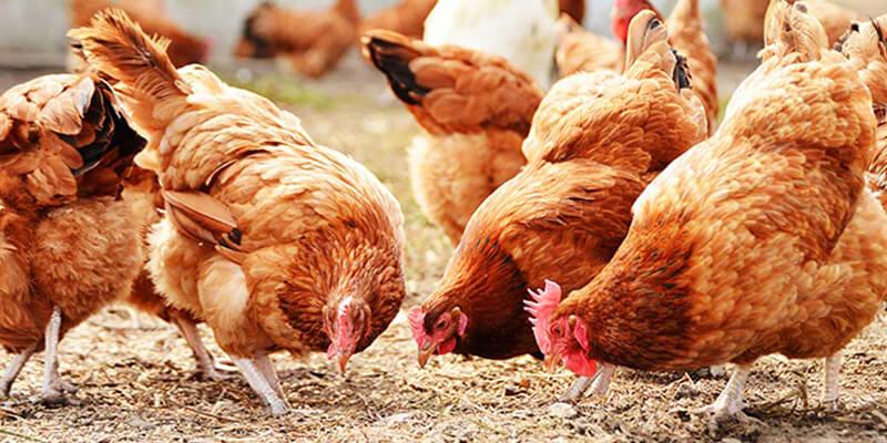 سوريا تستورد 14 ألف طير دجاج من فرنسا