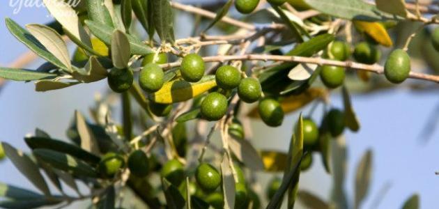 إنتاج الزيتون تراجع بنسبة 24% عن العام السابق