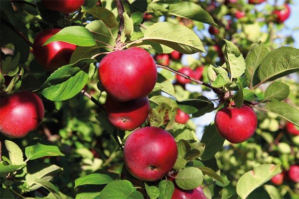 شروط مصرية جديدة تهدد تصدير 80% من إنتاج التفاح السوري