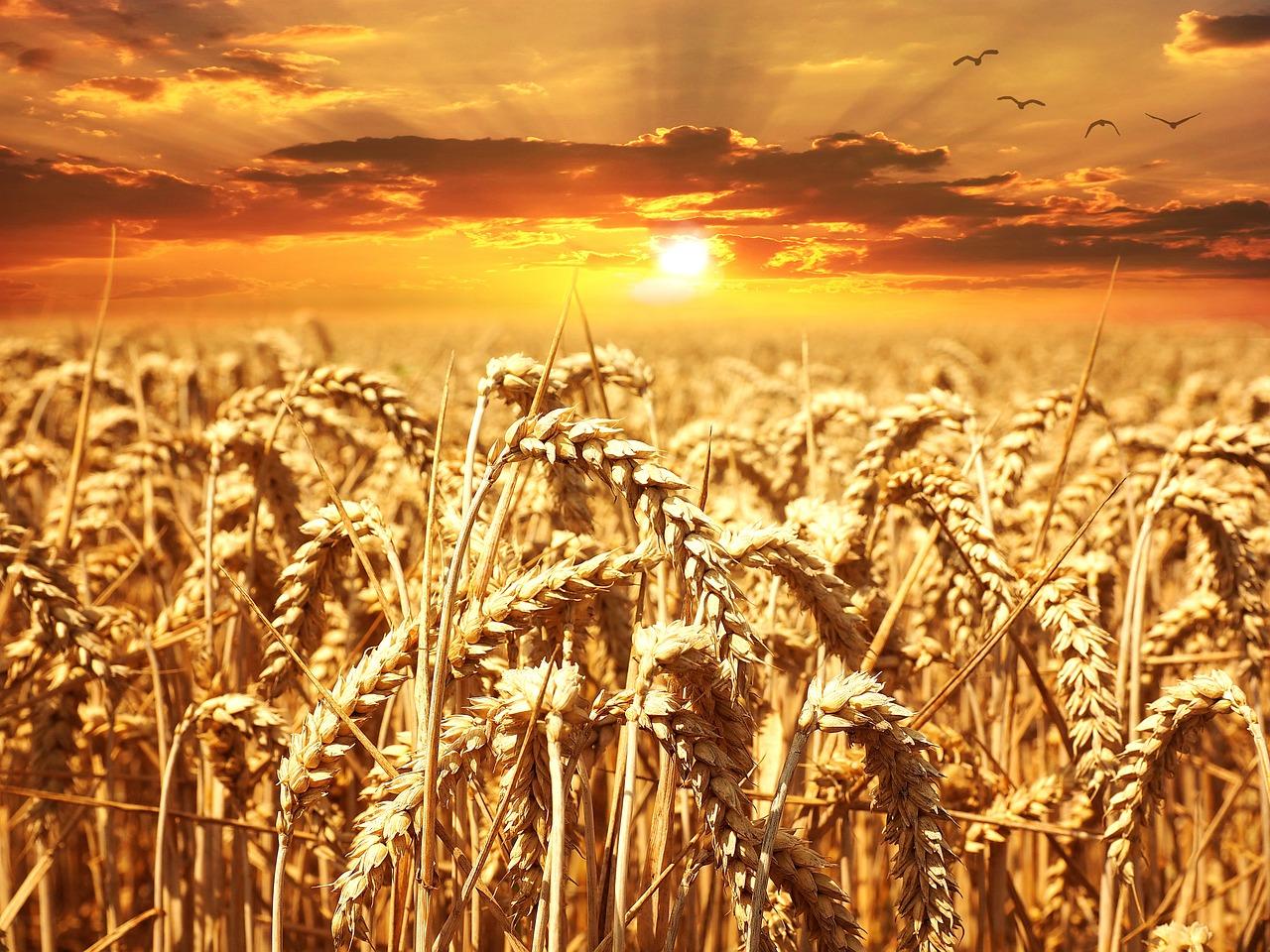 انخفاض حاد بإنتاج القمح والحكومة مجبرة على الاستيراد